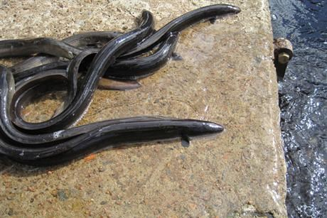 Eels on the ground